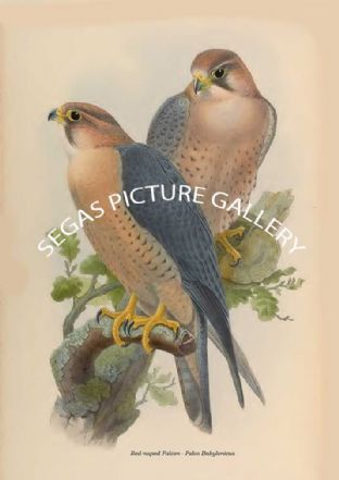 Red-naped Falcon - Falco Babylonicus